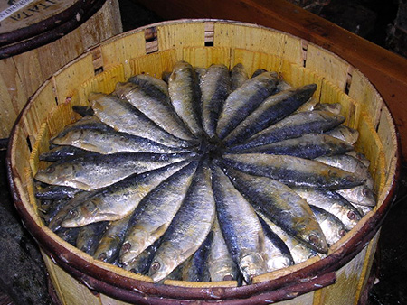 Pilchards being cured in a barrel